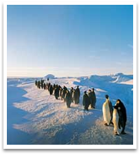Penguins marching along the ice.