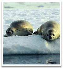 Crabeater seals on some floating ice.