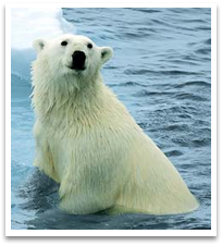 Part of the Arctic fauna, a polar bear in the water.