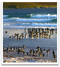 Penguins running from crashing waves in West Falklands.
