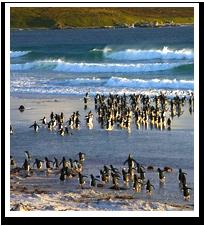 Penguins running from crashing waves in West Falklands.